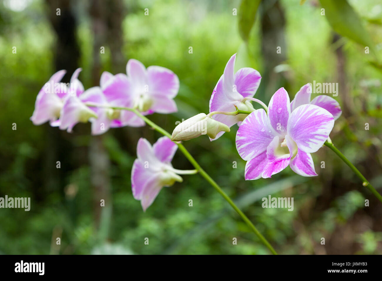 Close up of pink flowers in the tropical forest of Kinabalu Park, Borneo - Stock Image