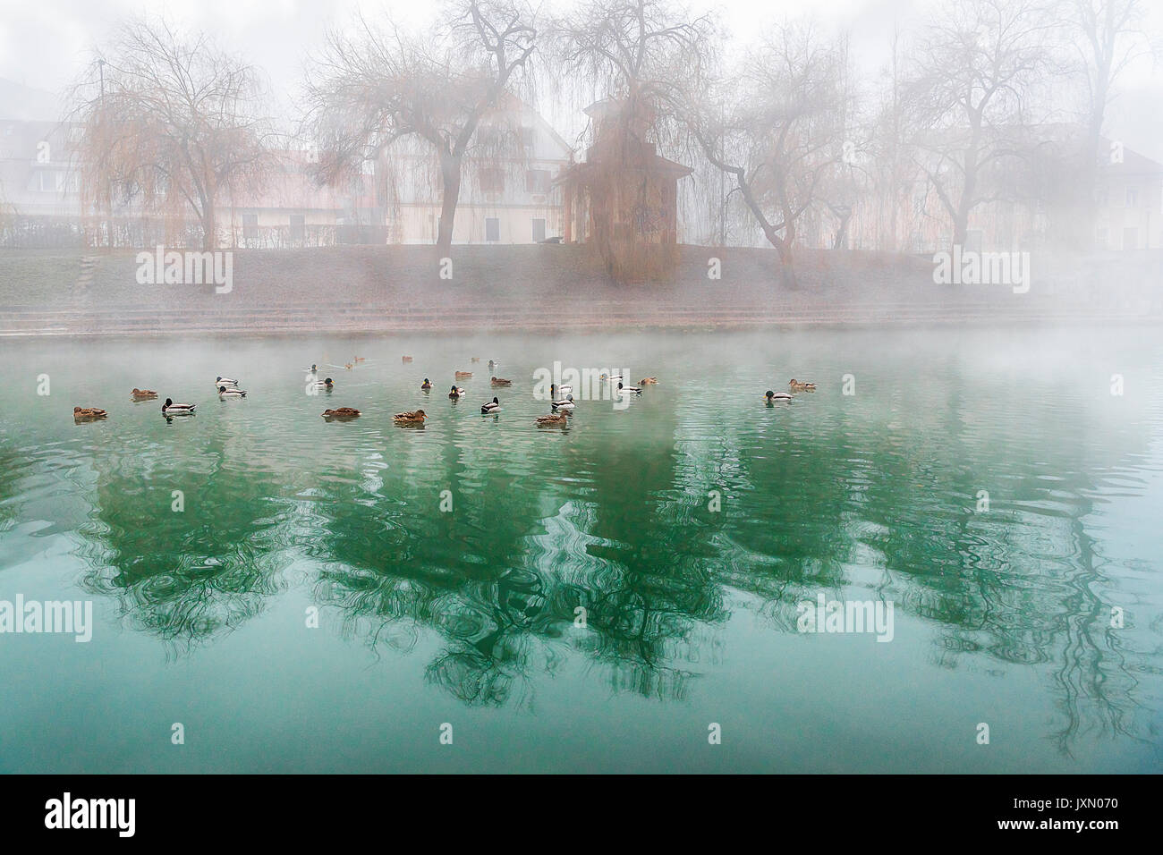 A group of wild ducks sitting on the river Ljubljanica, that crosses the capital of Slovenia, Ljubljana and has an amazing green color. - Stock Image