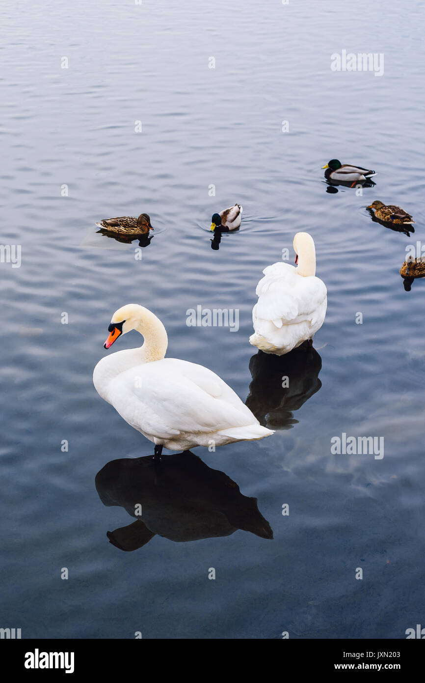 Two Swans stand in Water and Ducks Swim on Backdrop. Vertical Orientation. Stock Photo
