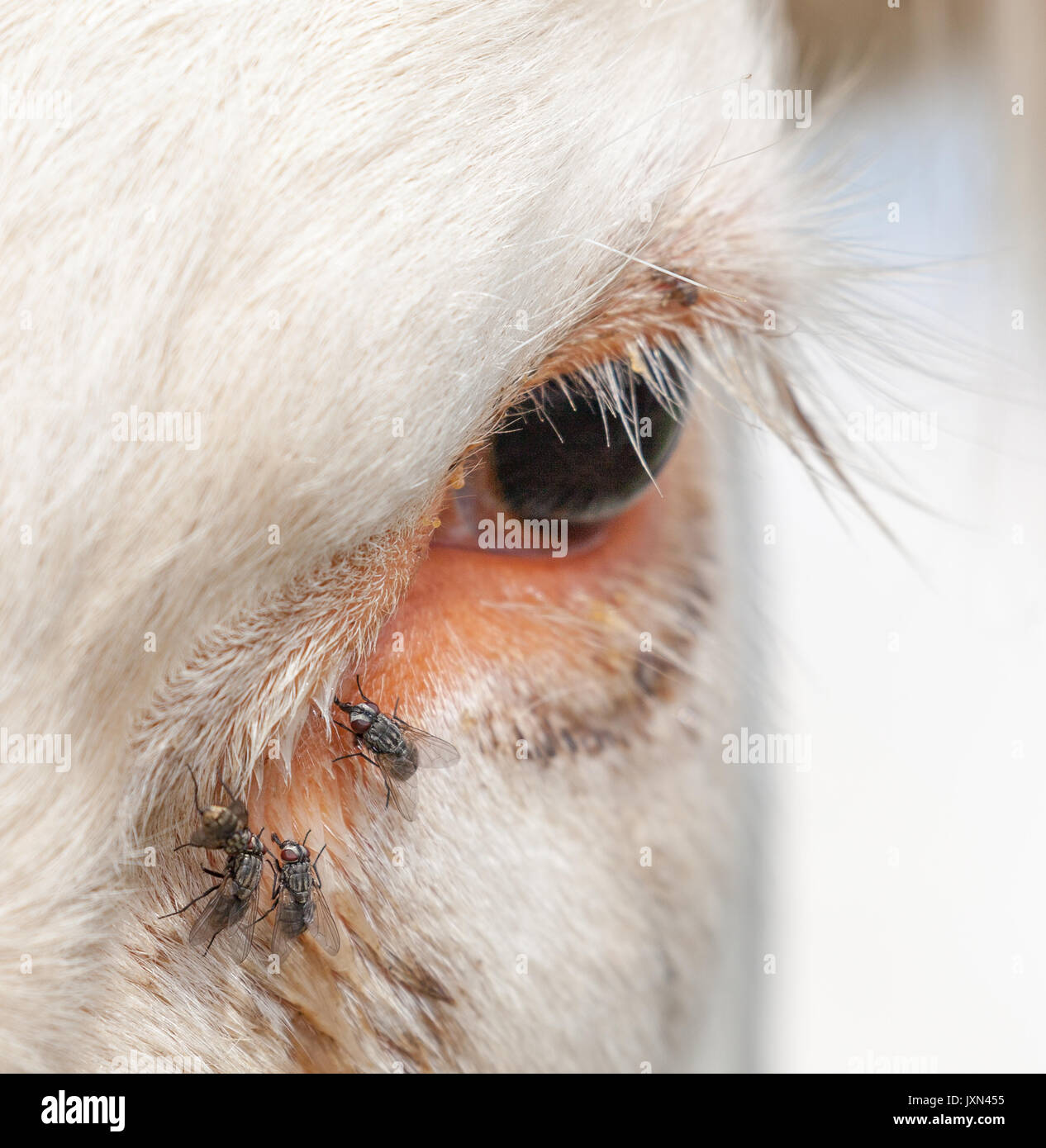 Cow eye with flies. Stock Photo