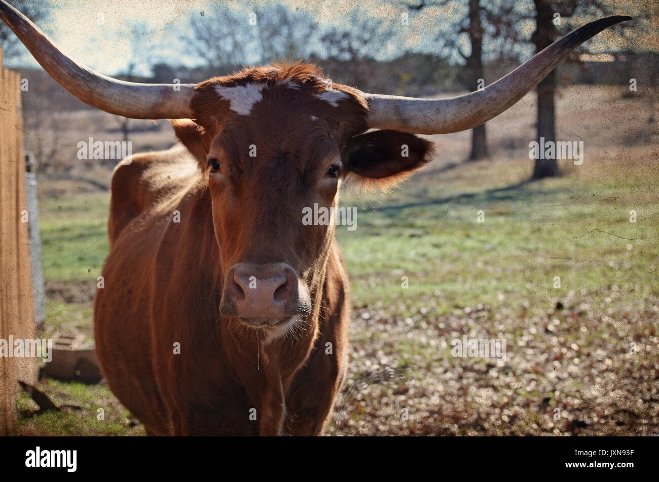 Longhorn cow on rural country ranch, with scenic pasture landscape in background.  Authentic happy farm animal. - Stock Image