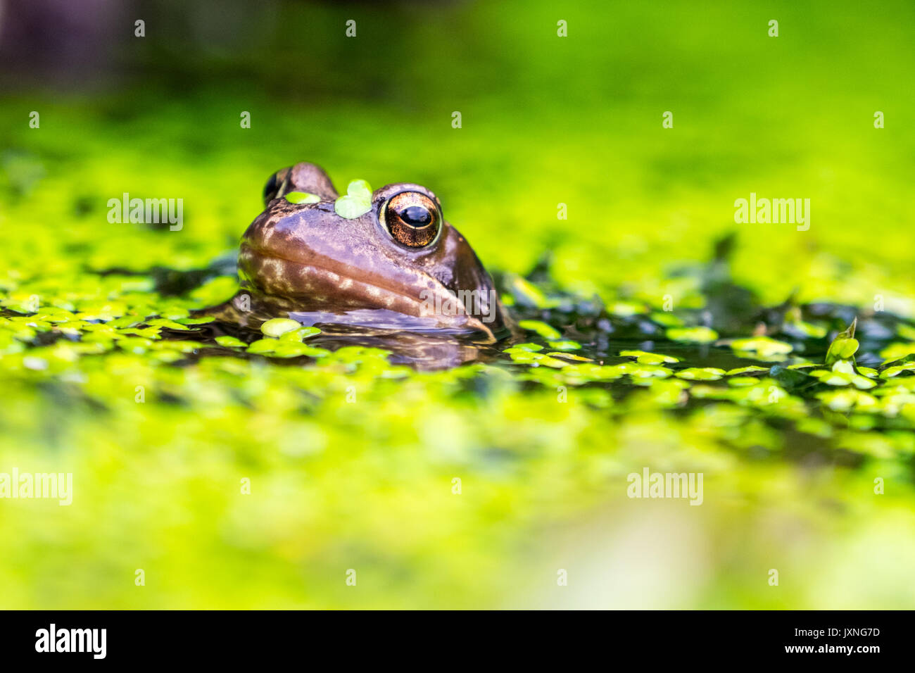 Common Frogs in a British garden pond - Stock Image