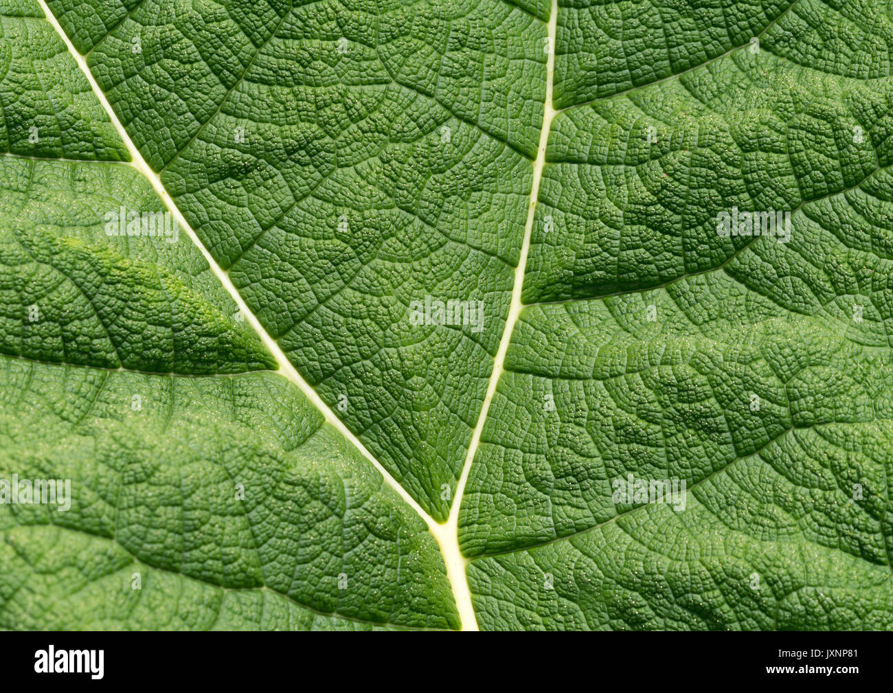 Gunnera leaf. Giant Gunnera leaves are often called 'Dinosaur food' due to their prehistoric appearance Stock Photo