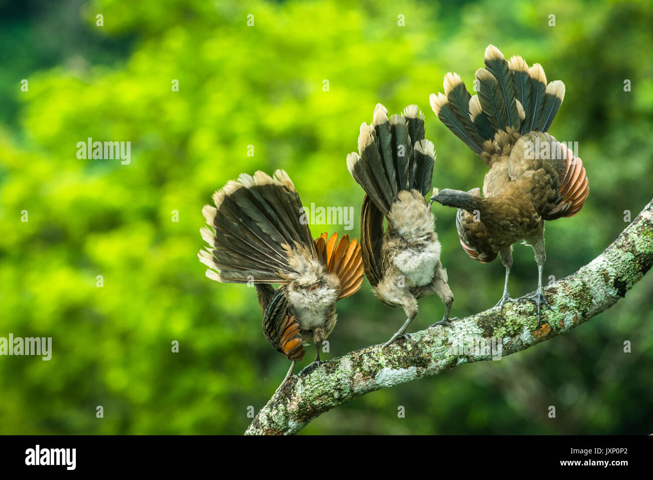 Gray-headed chachalacas displaying  and cleaning up after morning rain storm in Panamas highland rain forests - Stock Image