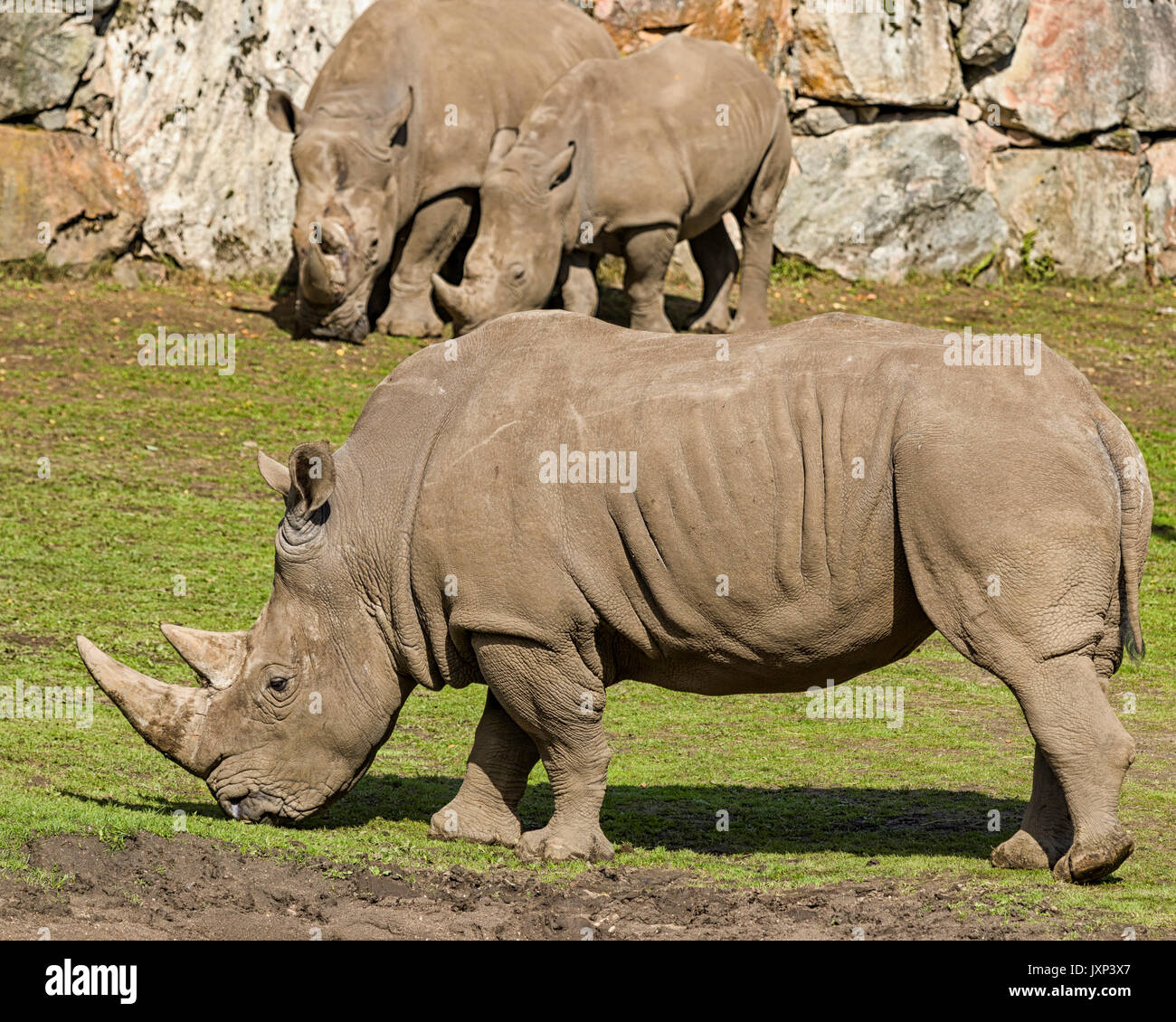 Southern White Rhinoceros or Southern Square-lipped Rhinoceros (Ceratotherium simum simum)  Model Release: No.  Stock Photo