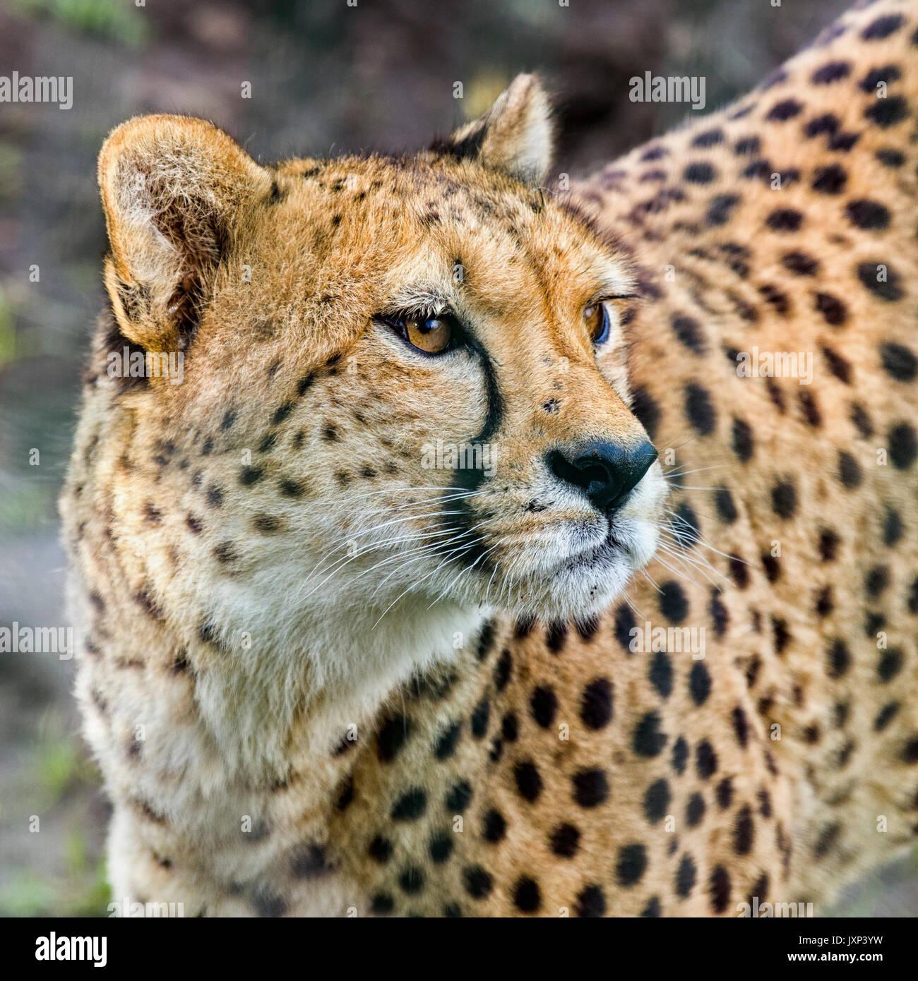 Close up headshot portrait of Cheetah (Acinonyx jubatus) in beautiful dappled light outdoors  Model Release: No.  Property Release: No. - Stock Image