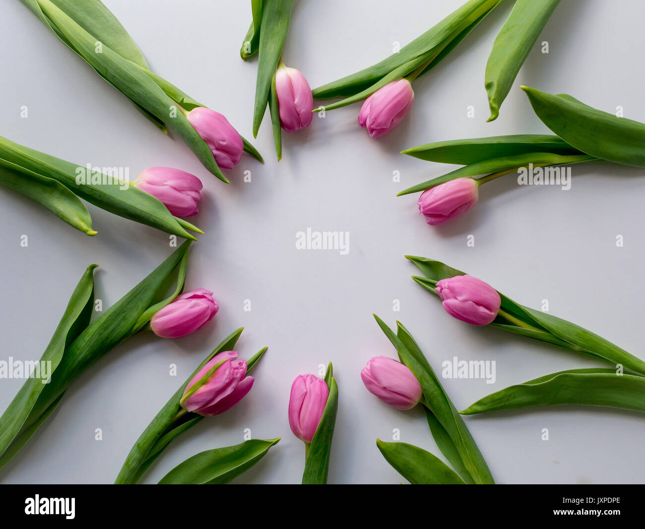 Pink tulips arranged in a circle on a white table. Flat lay. Landscape format. - Stock Image