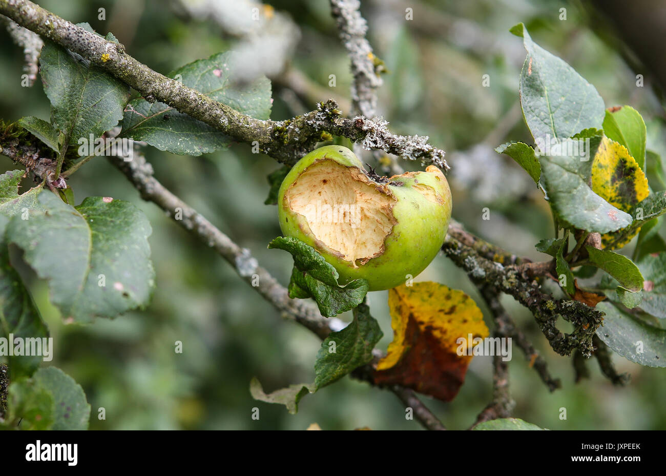 Rotten Crab Apples (Malus Sylvestris) in High Wycombe, England on 16 August 2017. Photo by Andy Rowland. - Stock Image