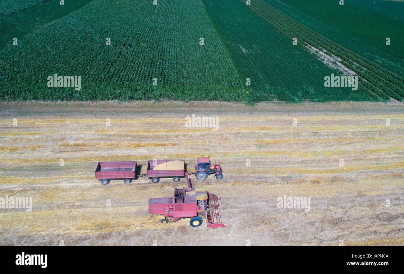 Aerial image of combine harvester and tractor working in ripe golden wheat field. Harvesting in summer time - Stock Image