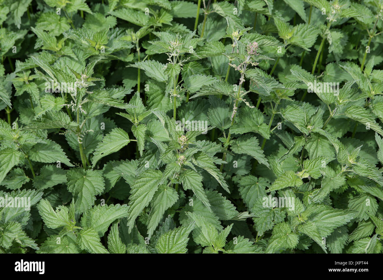 Stinging nettles (Urtica dioica) in High Wycombe, England on 16 August 2017. Photo by Andy Rowland. - Stock Image