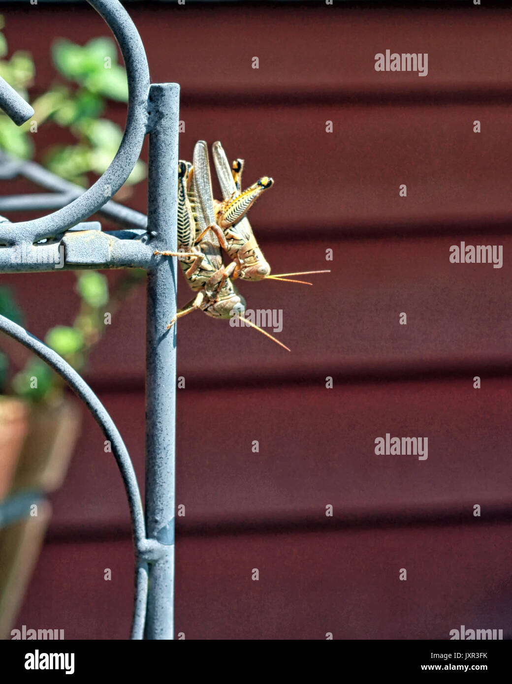 A male and female Differential Grasshopper are mating on a garden trellis. - Stock Image