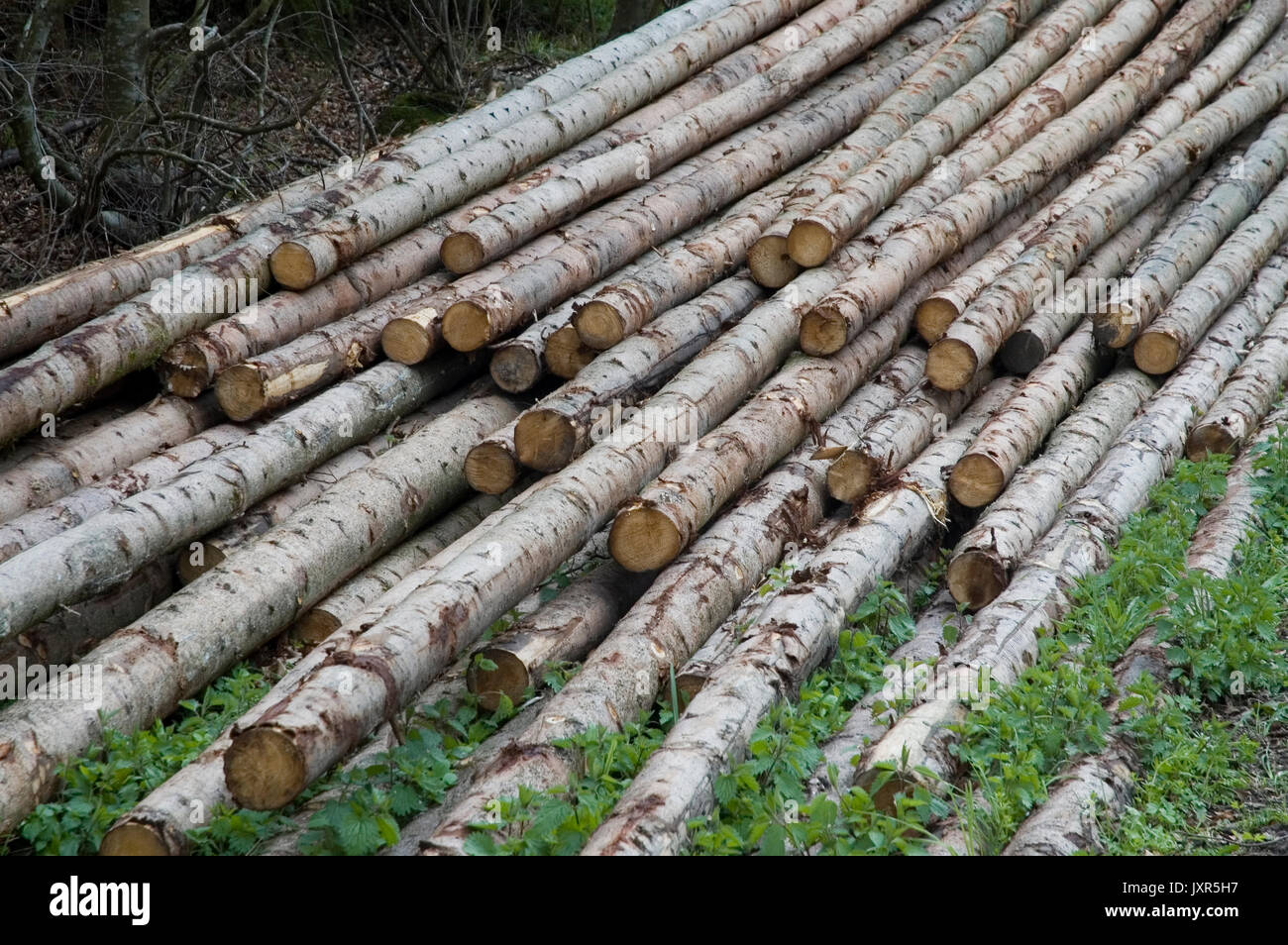 felled wood storing in forest - Stock Image