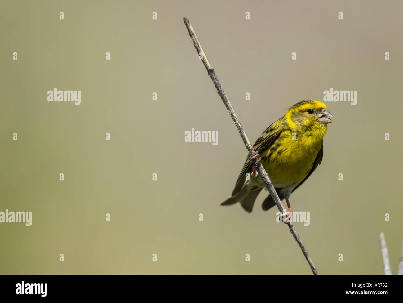 Serin (Serinus serinus), male singing - Stock Image