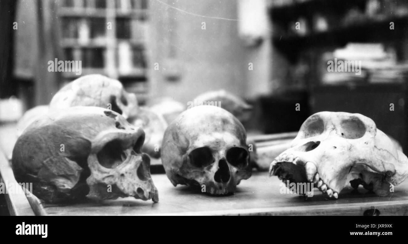 Anthropology, Science, Skulls Candid shot, several skulls arrayed on a table, 1950. - Stock Image