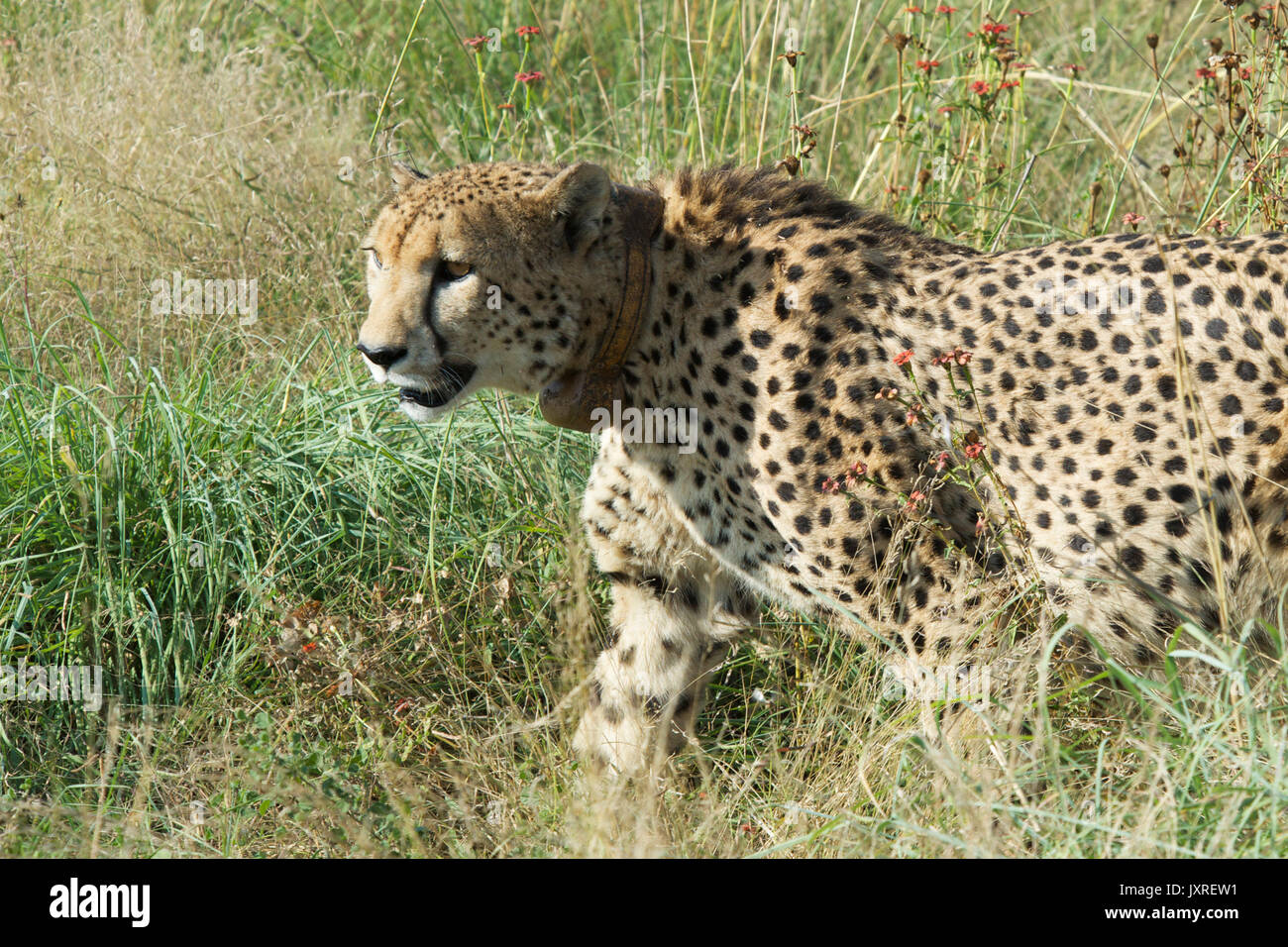 Male Cheetah In Long Grass Madikwe Game Reserve South Africa