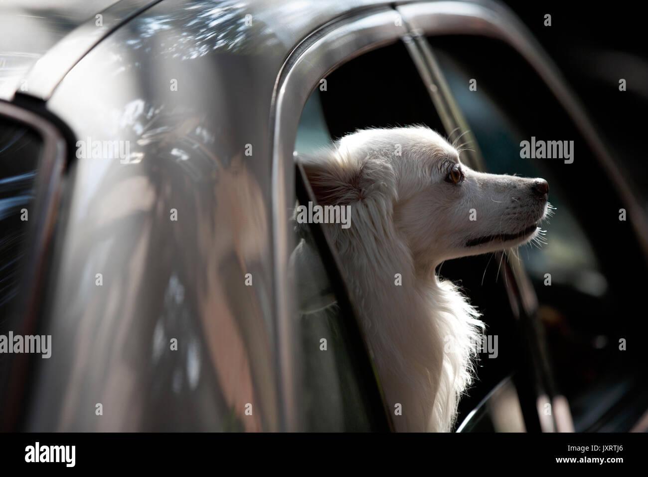 Dog looking out car window Boston Massachusetts Stock Photo