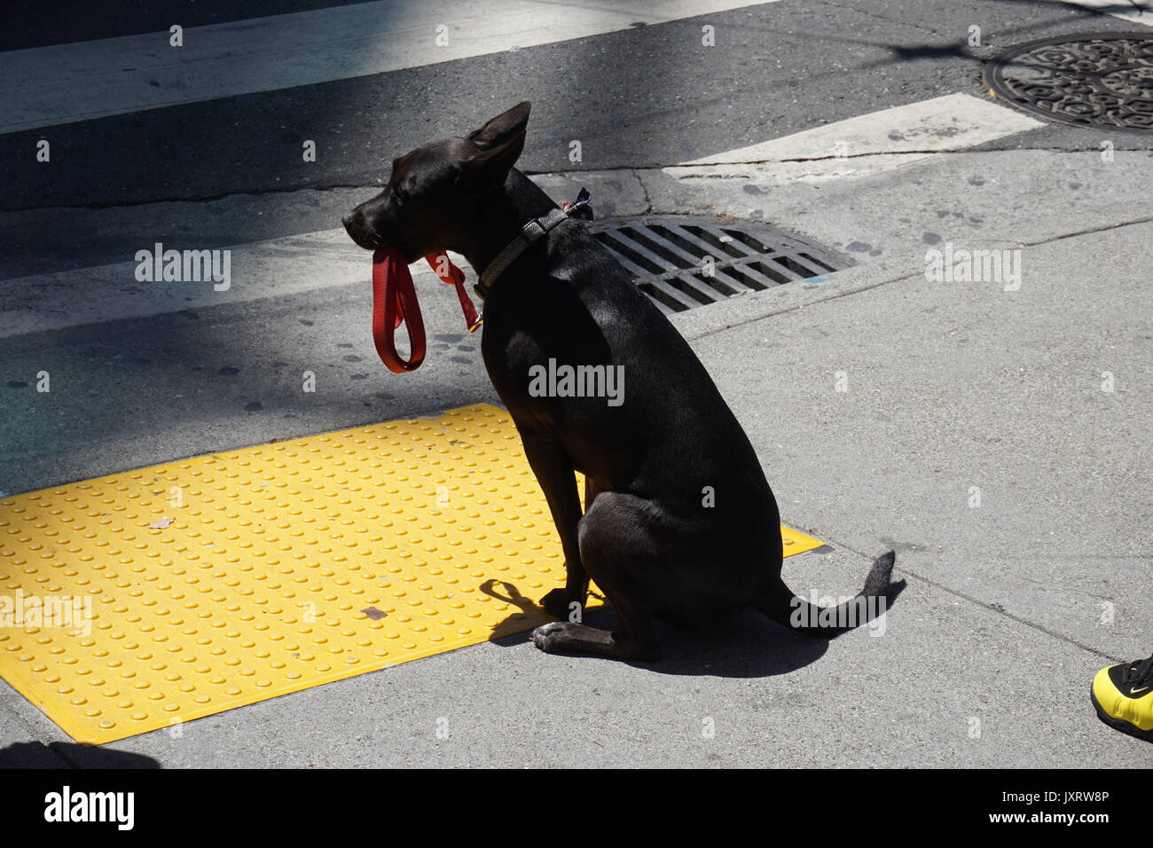 Dog taking itself for walk. - Stock Image