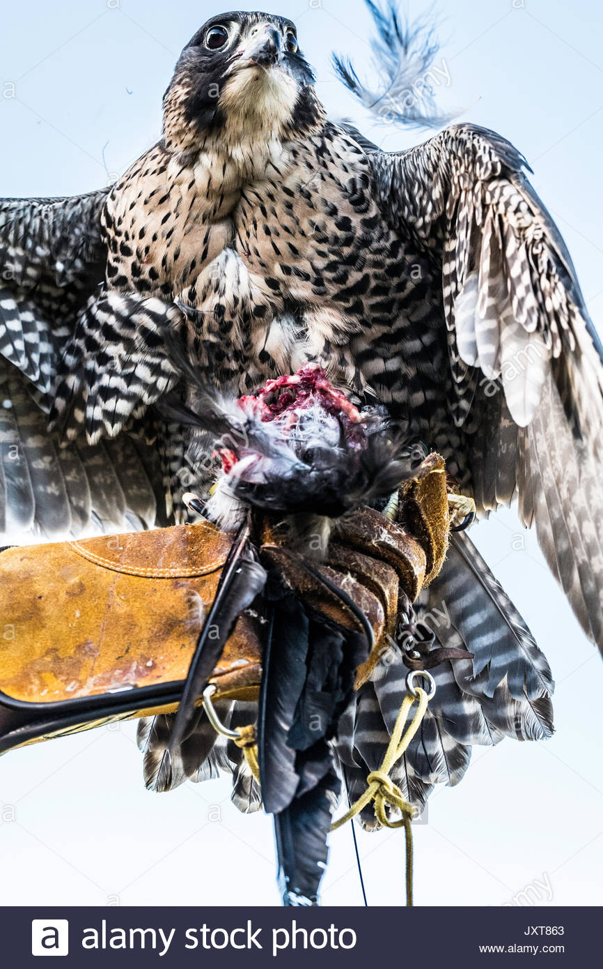 Bellingham, Northumberland, UK. 17th Aug, 2017. Handlers feed falcons up after a days hinting. Falconers hunt crows from horseback on the moors of Northumberland. Credit: Chris Strickland/Alamy Live News - Stock Image
