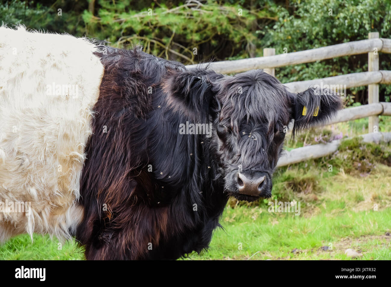 Some of the Belted Galloway cattle that have been introduced onto Cannock Chase Area of Outstanding Natural Beauty to graze and manage the landscape - Stock Image