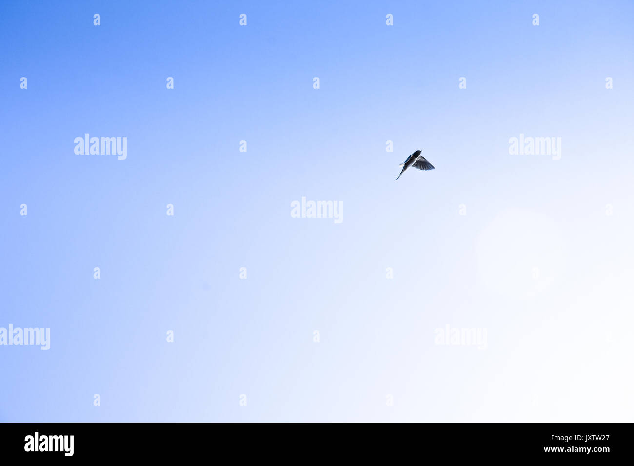 A swallow bird in flight against a clear bright blue sky at Cannock Chase, Staffordshire, UK - Stock Image