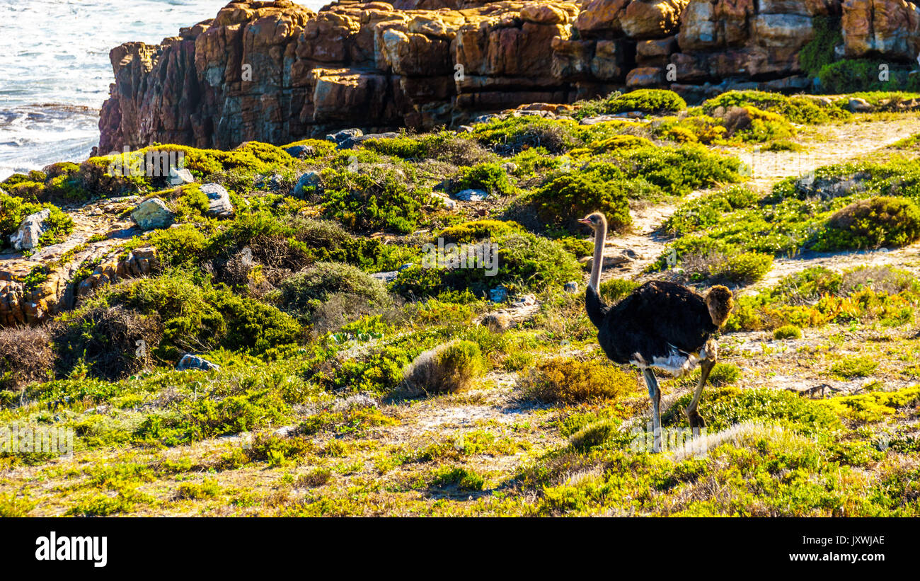 Male Ostrich in Cape Point Nature Reserve on the Cape Peninsula in South Africa - Stock Image