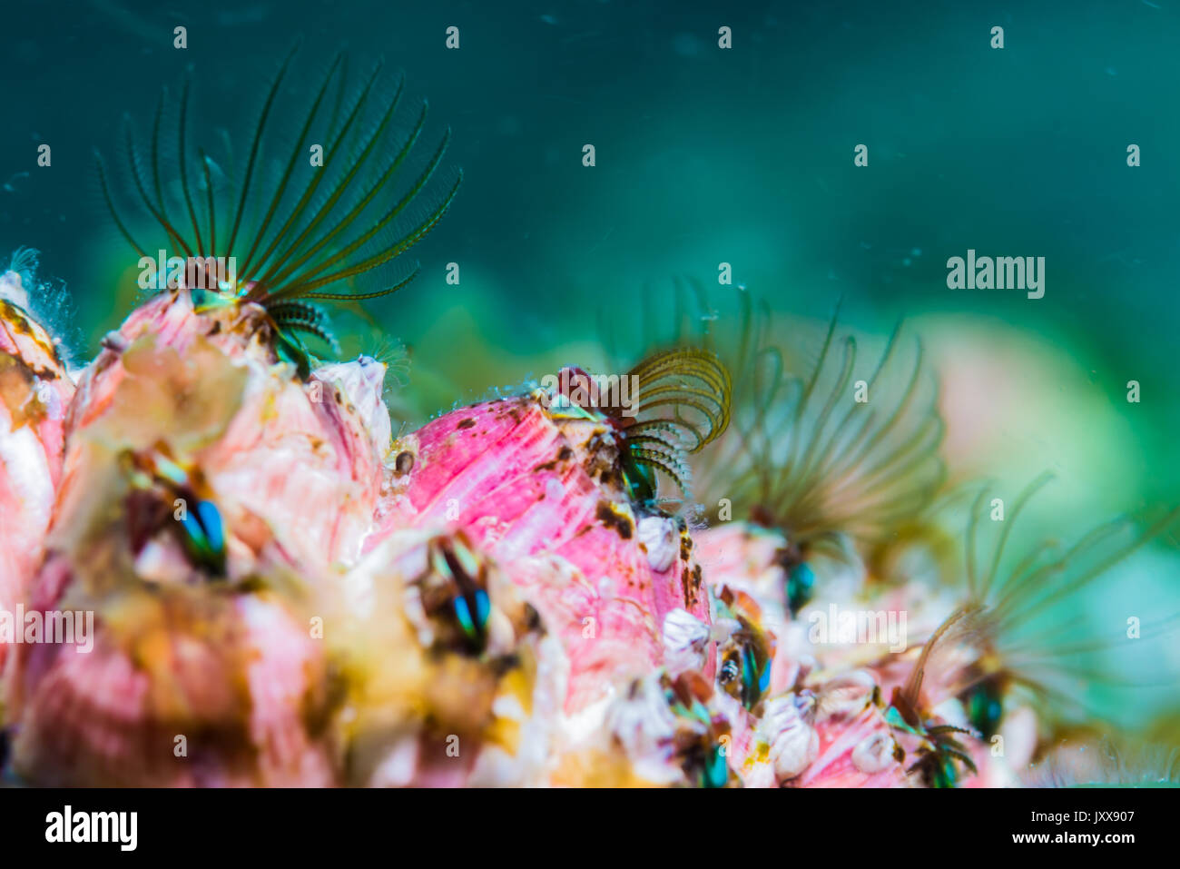 red barnacles with feathery food-catching appendages. closeup - Stock Image