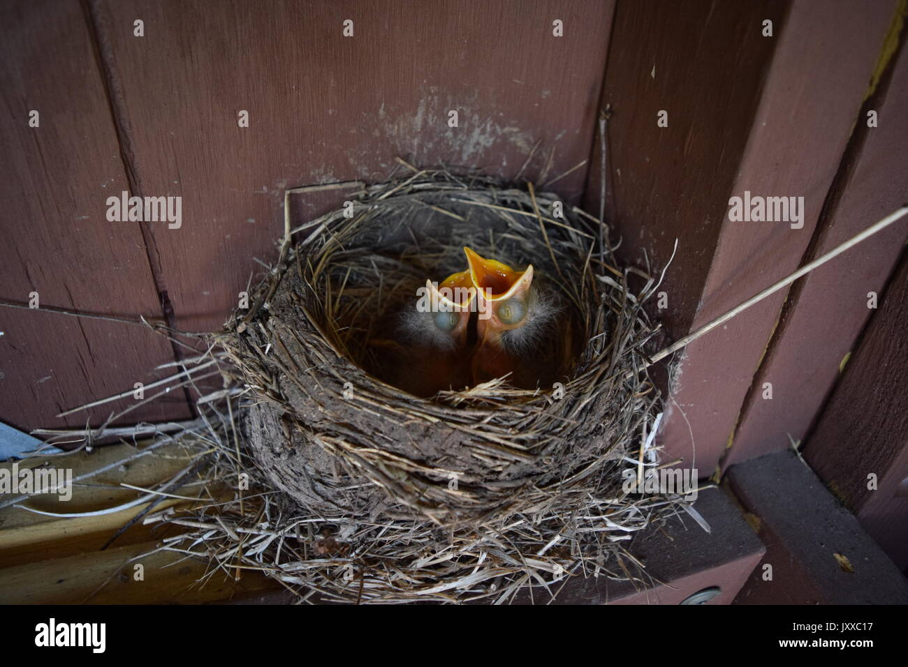 hungry baby birds - Stock Image