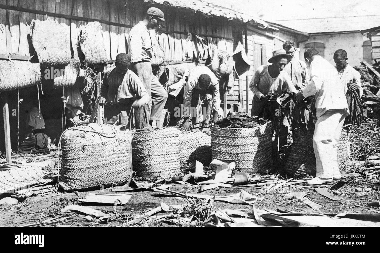 A group of African American men pick and sort tobacco leaves in large baskets outside of a tobacco barn, 1915. - Stock Image