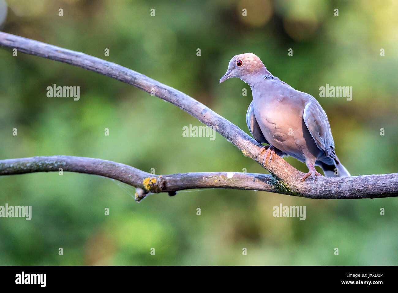 Collared dove or Streptopelia decaocto on branch - Stock Image