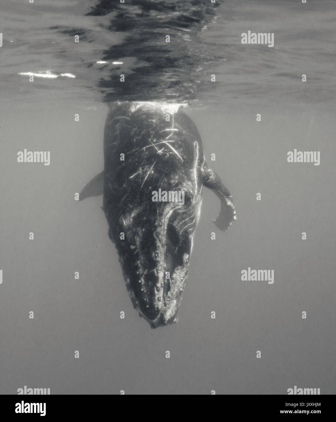 Underwater view of a humpback whale calf playing at the surface, Tonga. - Stock Image