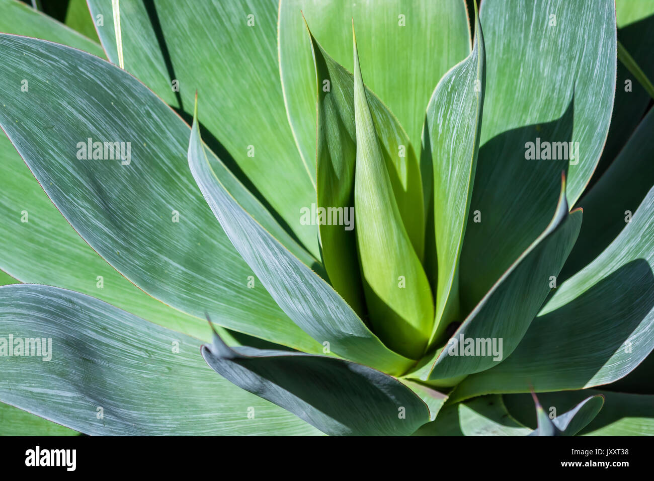 Close up of a species of agave, Agave attenuata - Stock Image