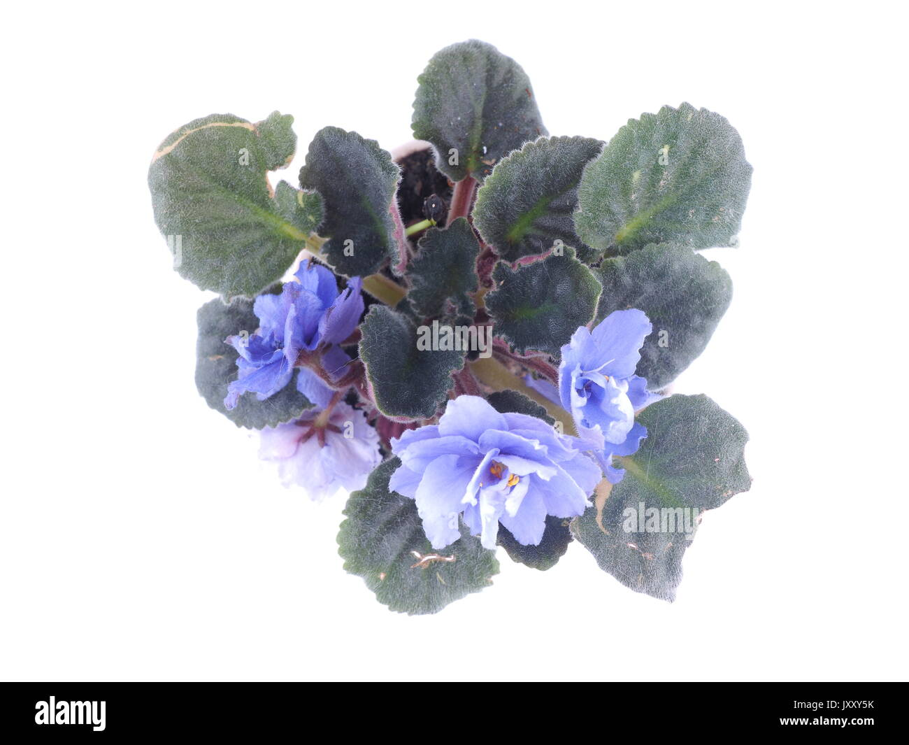 Violet in a pot on a white background Stock Photo