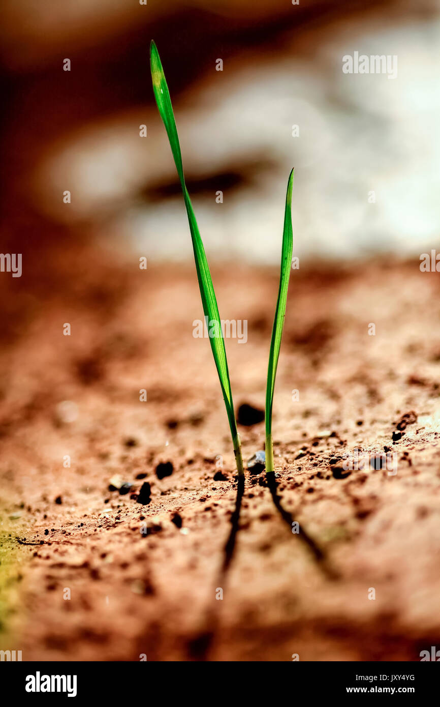 Grass blades grow out of the ground in a harsh environment Stock Photo