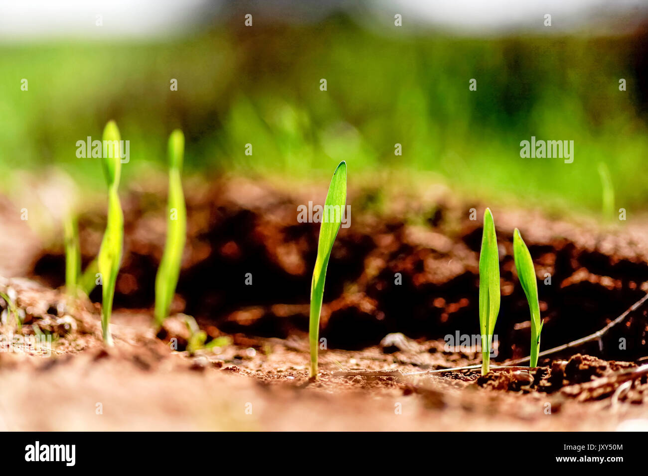 Grass blades grow out of the ground in a harsh environment - Stock Image