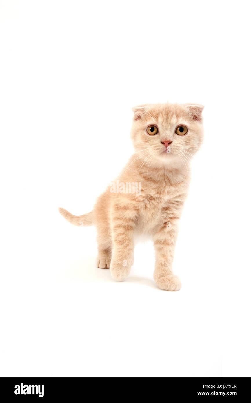 Cream Scottish Fold Kitten Stock Photos & Cream Scottish Fold Kitten