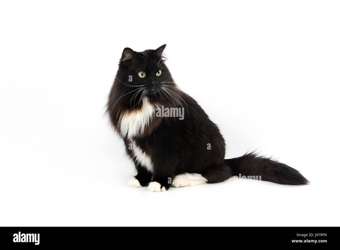 BLACK AND WHITE SIBERIAN CAT, FEMALE AGAINST WHITE BACKGROUND - Stock Image