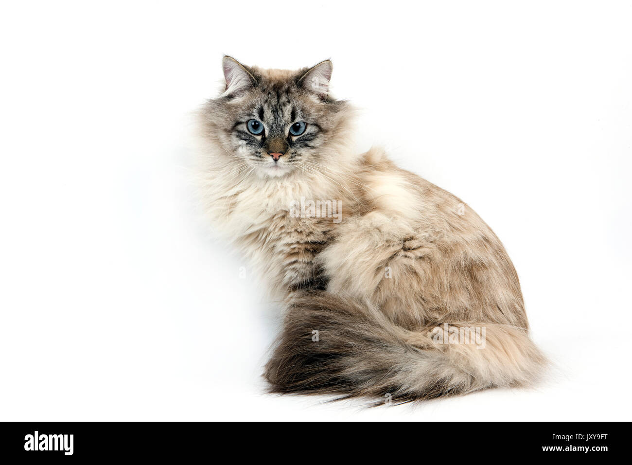 NEVA MASQUERADE SIBERIAN CAT, COLOR SEAL TABBY POINT, MALE AGAINST WHITE BACKGROUND - Stock Image