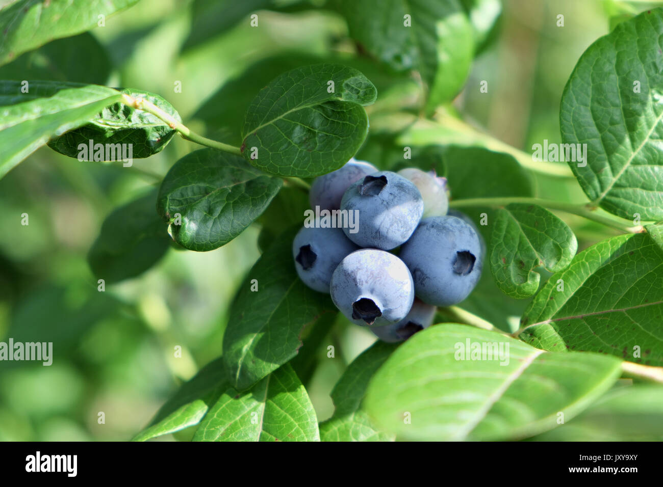 Crop of blueberries with the AB organic label - Stock Image