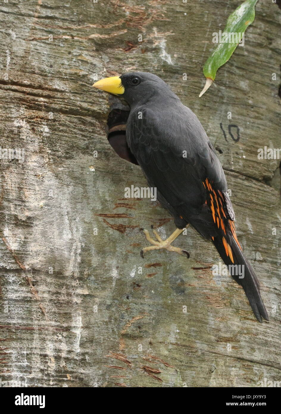 Sulawesi  Grosbeak starling or grosbeak myna (Scissirostrum dubium) nesting in a tree trunk. A.k.a. Celebes scissor billed starling. - Stock Image