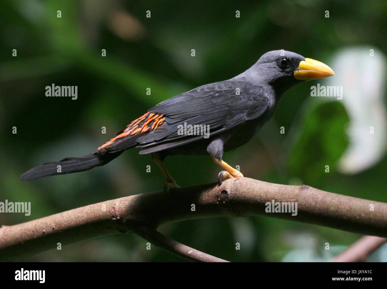 Sulawesi  Grosbeak starling or grosbeak myna (Scissirostrum dubium). A.k.a. Celebes finch billed or scissor billed starling. - Stock Image