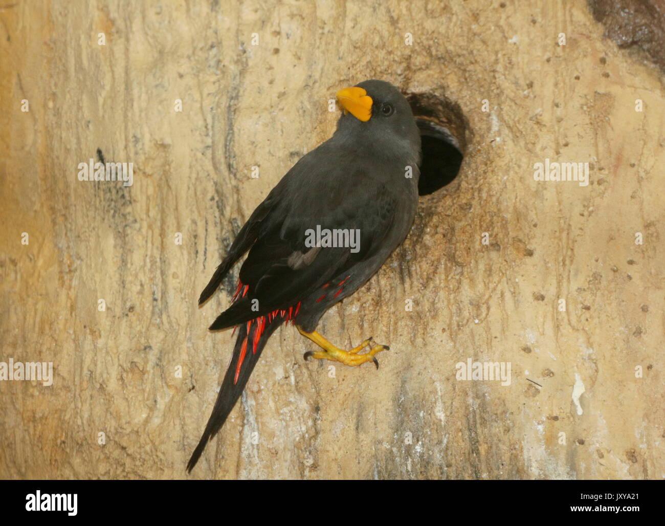 Nesting Sulawesi  Grosbeak starling or grosbeak myna (Scissirostrum dubium). A.k.a. Celebes finch billed or scissor billed starling. - Stock Image