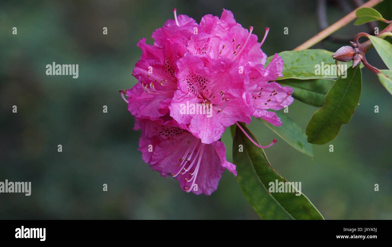 Madeira - Funchal - Jardim Botânico da Madeira - Huge violet flower blooming - Rhododendron Arboreum - Stock Image