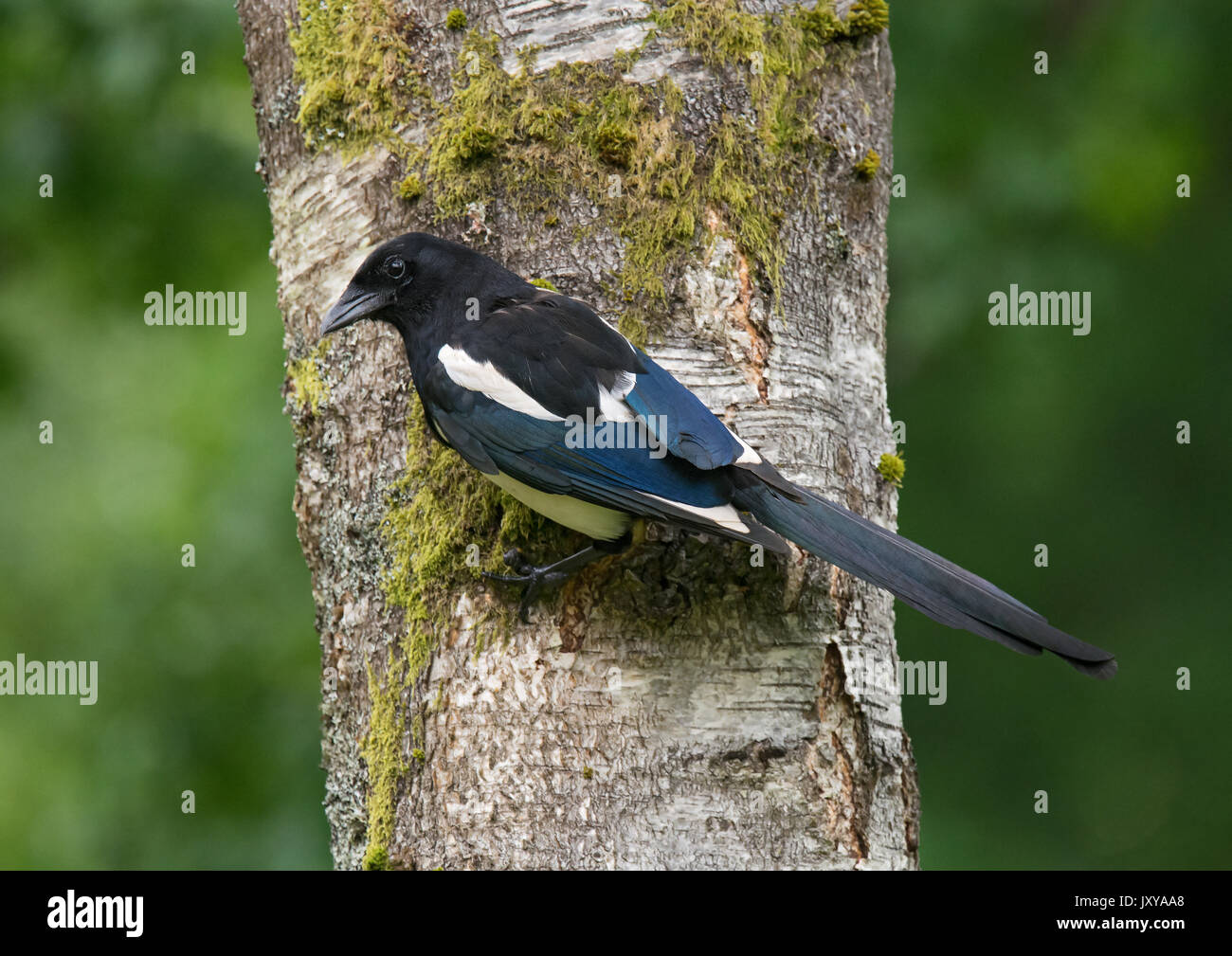 Eurasian magpie, common magpie, Pica pica, perched on silver birch tree trunk Stock Photo