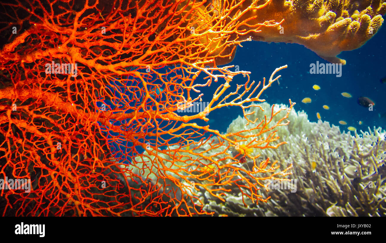 Colorful Red Hard Corals and some Coral Fish around on Kri, Raja ...