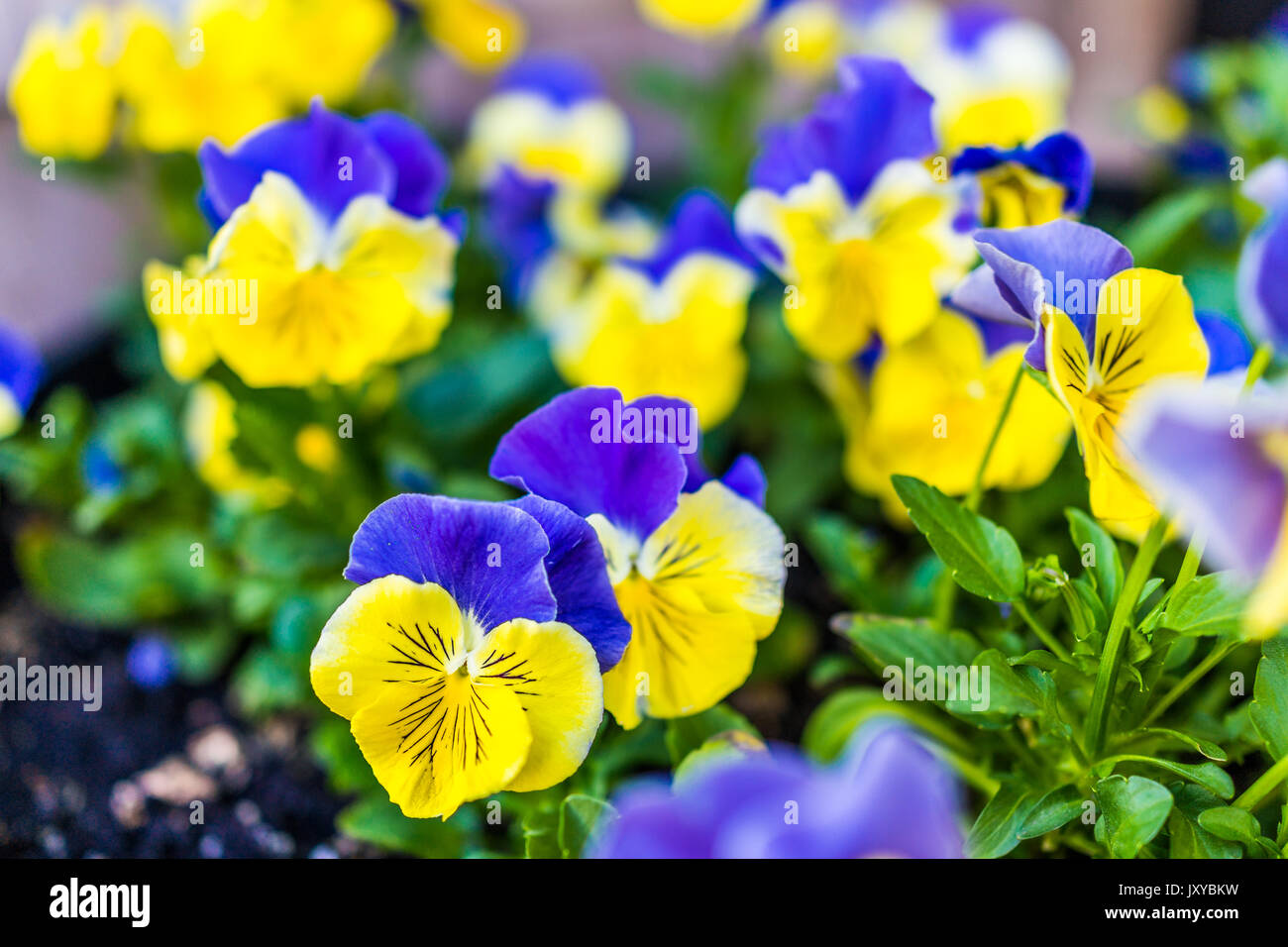 Yellow Pansy Flower Pot Stock Photos Yellow Pansy Flower Pot Stock