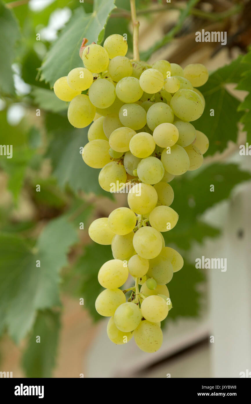 grapes, Bernkastel-Kues, Moselle, Germany Stock Photo