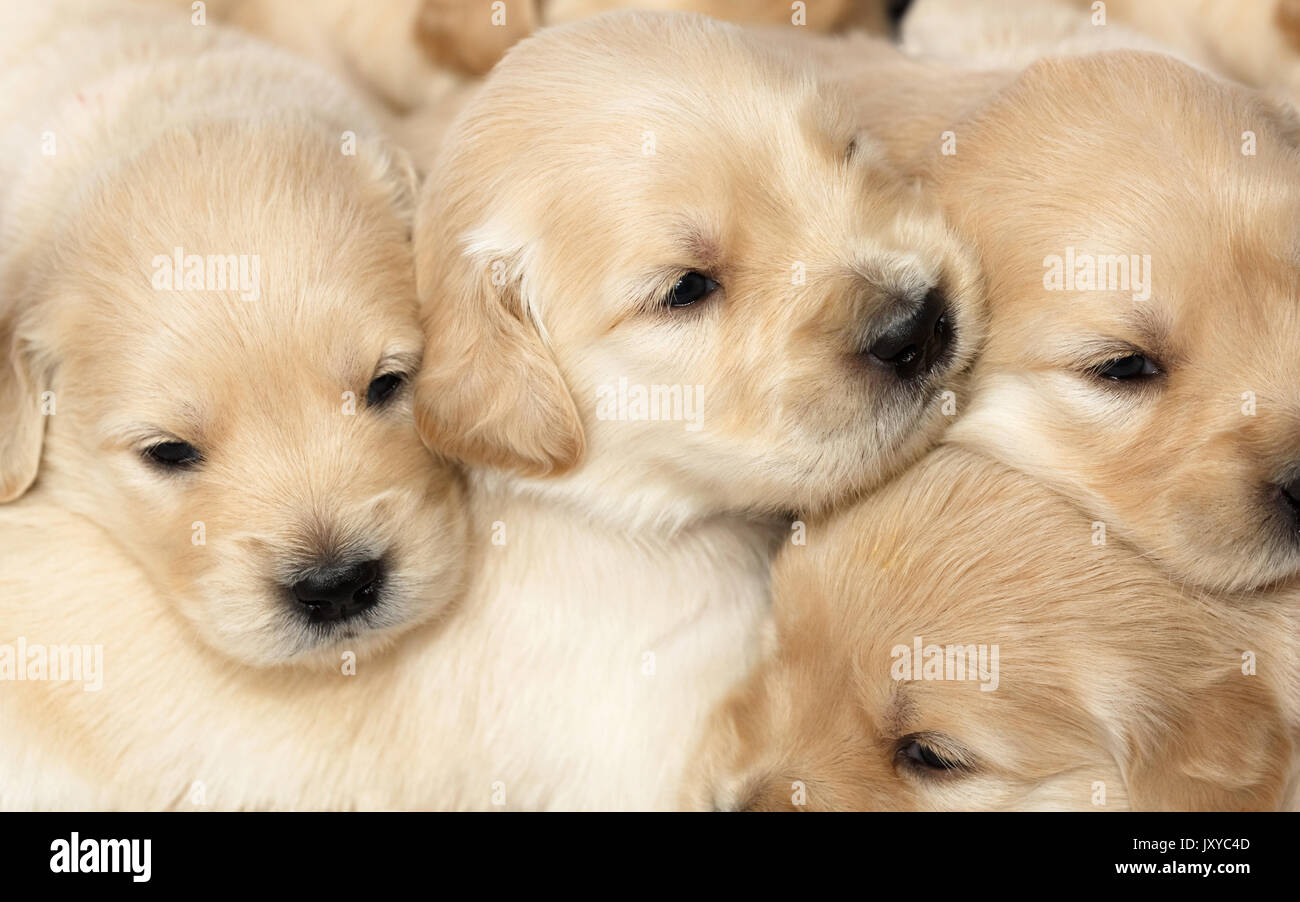Group of 4 week old Golden Retriever puppies - Stock Image
