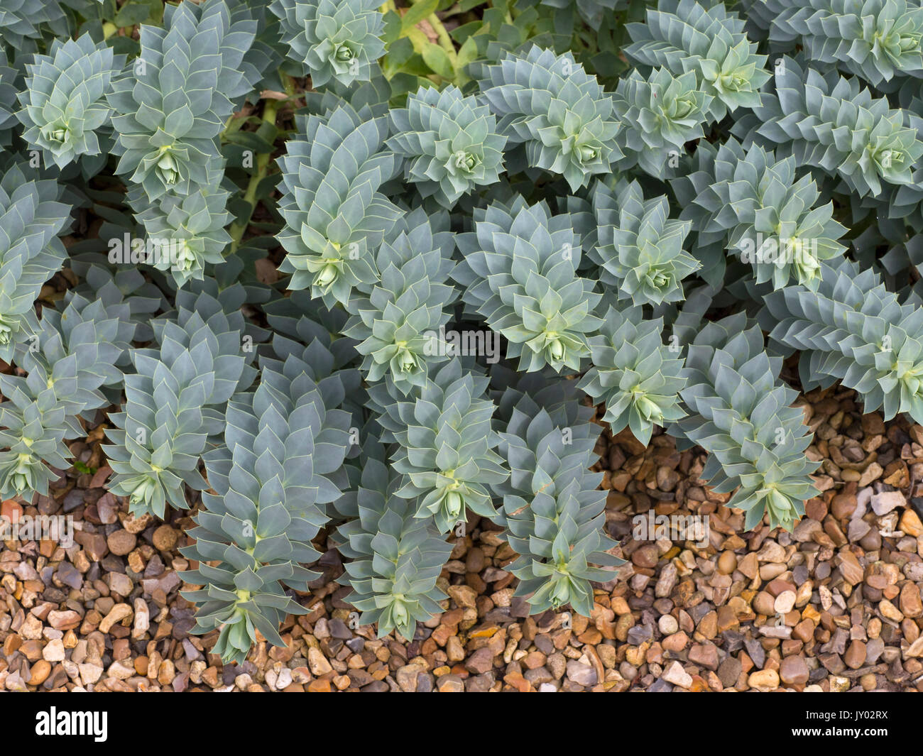 Euphorbia myrsinites growing on gravel - Stock Image