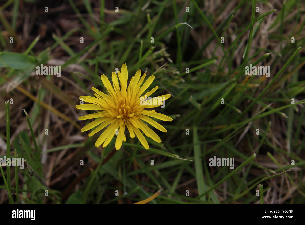 Photo of a growing dandelion. - Stock Image