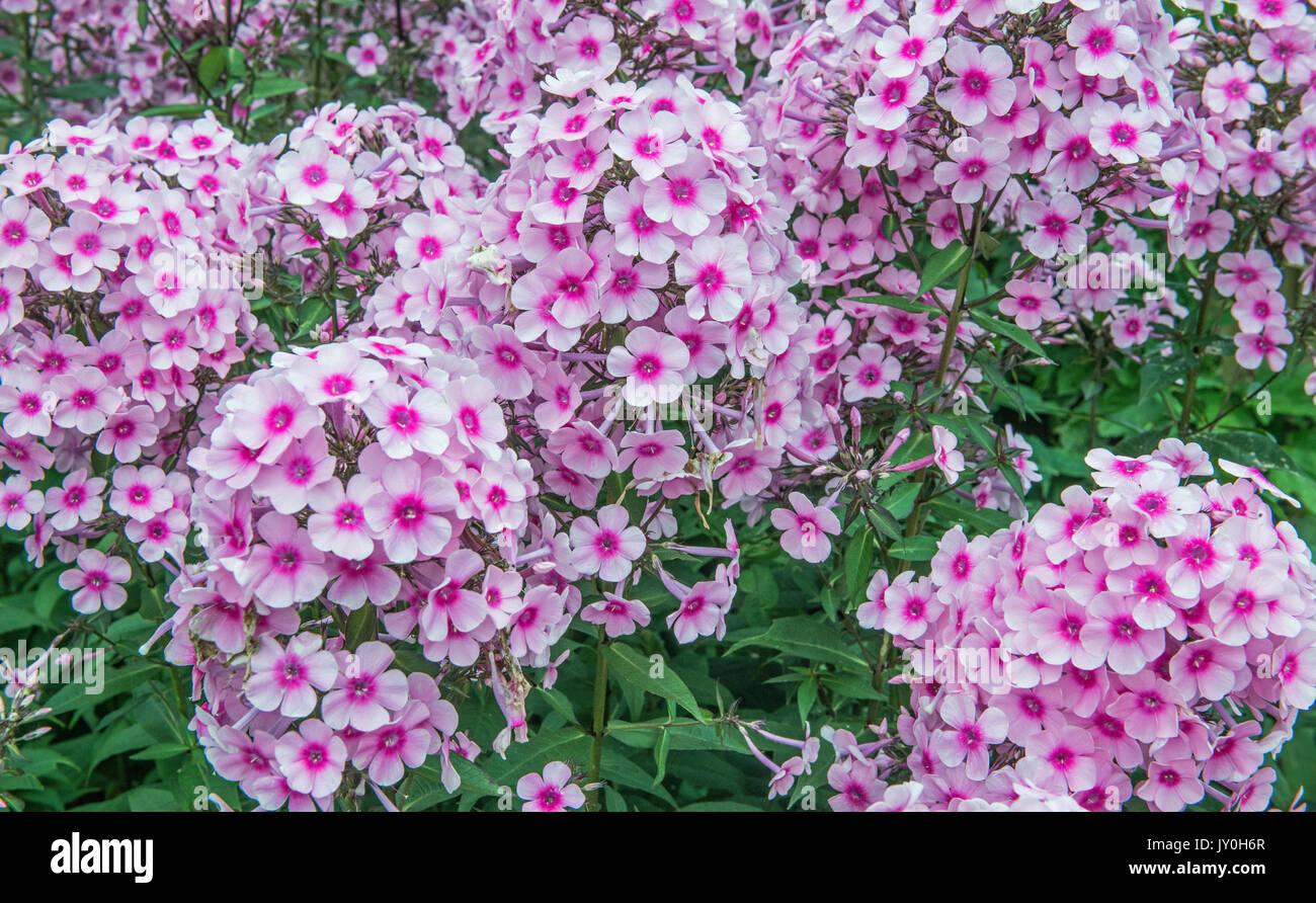 phlox paniculata garden flowers on a summer day in august stock image - Tall Garden Phlox